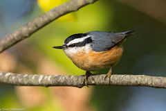 BJ8A7715-Red-breasted Nuthatch (tfells) Tags: redbreasted nuthatch bird nature nj passerine songbird assunpink