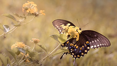 Late Summer Black Swallowtail Butterfly (Charles Opper) Tags: americanswallowtail butterflydays canon lantana papiliopolyxenes summer blackswallowtail butterfly color insect light nature swallow swallowtail warm midway georgia unitedstates flowers