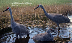 Bath Day! (AngelaC2009***) Tags: 2016 fall autumn october riverview florida bird birds sandhillcranes backyardwildlife canoneosdigitalrebelxt