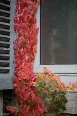 Harmonie d'automne (Frd.C) Tags: automne feuille rouge vert jaune red canon lens 100mm season