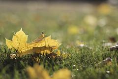 automne-3 (tassinseb) Tags: fleurs automne couleur lumiere soleil feuilles