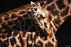 Giraffa Camelopardalis (State of Decay) Tags: animals dieren giraffe ouwehand dierenpark