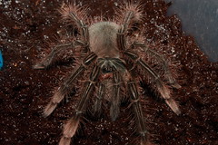 T.stirmi 5th molt (George Nanos) Tags: theraphosa stirmi sling spiderling 5 molt