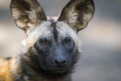 Afrikanischer Wildhund (astroaxel) Tags: deutschland zoo duisburg nordrheinwestfalen nordrhein westfalen nrw afrikanischer wildhund