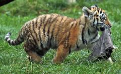 siberian tiger Duisburg JN6A7855 (j.a.kok) Tags: tijger tiger tigercub siberischetijger siberiantiger amoertijger amurtiger duisburg pantheratigrisaltaica cub cat predator
