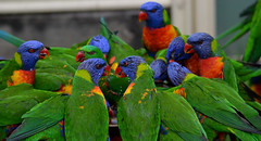 DSC_0046 (RUMTIME) Tags: bird 120 nature birds lorikeet v f queensland 3000 coochiemudlo 3000v120f abigfave