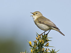 Willow Warbler ( Phylloscopus trochilus) (phil winter) Tags: uk male sussex singing willow warbler phylloscopustrochilus