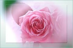 Roses in May (PINK) (Takako off) Tags: supershot 5wonderwall sunrays5
