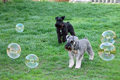 Playing with Bubbles (Kelly.Garsha) Tags: summer dog chien co dogs cane canon puppy spring soap puppies play bubbles schnauzer perro terrier hund bubble canonrebel  burbuja bolla soapbubbles bulle  soapbubble schnauzers bubblewand bubblemaker hndchen  playingwithbubbles schnauzerpuppy blackschnauzer saltandpepperschnauzer eoskissx4 dogsandbubbles canon550d eos550d canonrebelt2i canonkissx4 eosrebelt2i dogwithbubbles dogandbubbles dogplayingwithbubbles dogsplayingwithbubbles dogswithbubbles