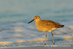 Willet (Ralf Nowak) Tags: