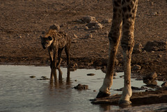 Meeting point (Samuel Roth) Tags: africa nature animals wildlife giraffe namibia hyena etosha spottedhyena etoshanationalpark
