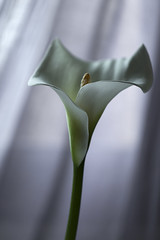 Suave contraluz (mariajo12) Tags: contraluz flor cala