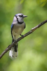 Blue Jay (Cyanocitta cristata) (Photo Patty) Tags: bluejay cyanocittacristata maumeebaystatepark