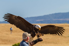 Sequoia_ (HavCanon.WillTravel) Tags: female eagle bald paloalto byxbeepark canon7d