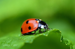 Marienkfer auf einem Blatt - Ladybug sitting on a leaf (MaiGoede) Tags: pets macro nature animals fauna germany deutschland tiere nikon europa europe natur insects natura matthias ladybug makro germania tier insekten niedersachsen insecta naturfoto butjadingen fedderwardersiel siebenpunktmarienkfer d7000 nikond7000 cmatthiasihriggoede ihriggoede