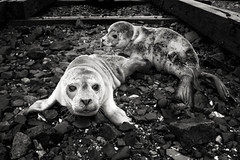 Sea Puppies! (Nate Parker Photography) Tags: blackandwhite maine seals haveaniceday sealpups bassharbormaine nateparkerphotography