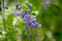 Deep Blue (Mick Holt) Tags: flowers blue green nature bluebells woodland spring pentax bokeh