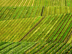 Vineyard Lines in Spring (Batikart) Tags: plants flower nature field grass leaves lines stairs canon germany w