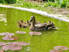 More Babies !!! (~Kay Musk ~) Tags: baby nature duck babies wildlife ducklings waterfowl mallards goldwildlife