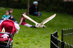 _W9O8710 (superhoopsa) Tags: bird london zoo flying flight raptor owl barnowl birdofprey zsl