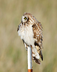(Pattys-photos) Tags: idaho shortearedowl marketlakewildlifemanagementarea