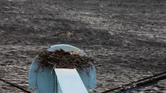 The Wind Beneath My Wings (Me in ME) Tags: video bath nest maine chick osprey kennebecriver firstflight sagadahocbridge windbeneathmywings