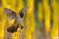Spectacled Bulbul,    , Pycnonotus xanthopygos @ Aloe on the Beach, Tel Aviv, 2016 (Jan Rillich) Tags: spectacledbulbul  pycnonotusxanthopygos bulbul rillich janrillich canon canon5d jan photo foto picture photography fotografie eos digital wildlife animal nature beautiful beauty sunny sun fauna flora free animalphotography image israel telaviv urban urbannature park hayarkon nahalhayarkon guest 2016 june spring 5dmarkiii 85mm sunset evening abend sonnenuntergang independencepark aloe