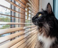 Gazing out of the window ( Percy the cat) (2) (Fujifilm X70 28mm f2.8 Compact) (1 of 1) (markdbaynham) Tags: cat feline pet cute percy fuji fujiuk fujix transx apsc 16mp x70 28mm f28 fixed prime compact fujinon