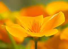 California Dreamin' III (paulapics2) Tags: eschcholziacalifornica petals fleur floral flora blumen citruscolours californiapoppy poppy vibrant canoneos5dmarkiii summer garden nature hydehallgardens closeup canonef70300mm sunny