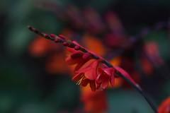 lovely reds (Suzanne's stream) Tags: flowers blten red rot blooming garden garten