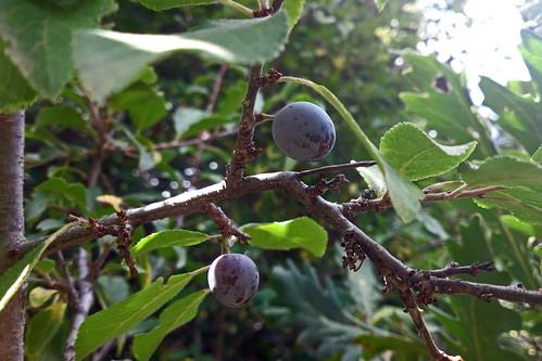 Prunus spinosa, Tsaghkadzor, 2012.09.15