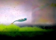 Nano aqurio c/ Branchoneta macho azul com 49 dias de vida - Fairy shcrimp blue male (Dendrocephallus brasiliensis) (Valter Frana) Tags: brasil brazilian brazil branchoneta crustceo ovparo plancto microorganismos guadoce nordeste alevinos nano aqurio tank aquarium