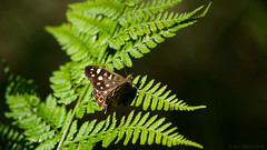 Butterfly (Northern Kev) Tags: nikon d7200 nikond7200 wildlife ukwildlife wood woodland woods gosforthnaturereserve gosforth northeast newcastle north summer butterfly insect fern