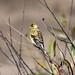 DSC_1954.jpg American Goldfinch, Harkins Slough