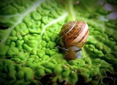 viaggiare lentamente (fotomie2009 OFF) Tags: lumaca snail chiocciola animal fauna