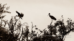 Two Storks on the Tree Top, one landing A (Jacek Wojnarowski Photography) Tags: 16x9 animal bird blackandwhitephotography greaterpoland horizontal leftsideview nature outdoor poland poznan splittoning stork tree wildlife