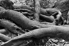 The Fallen (Kenneth John Taylor) Tags: woods fallentrees forest deadtrees trees nature