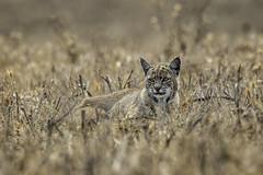 Resting Cat (lennycarl08) Tags: bobcat animalplanet pointreyesnationalseashore pointreyes northerncalifornia california marincounty