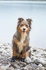 Hyona (Maliss Cogrel) Tags: australien sheperd bleu merle lac montagne suisse