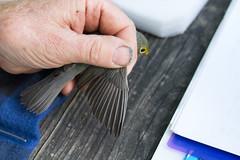 Canada Warbler (Arlen Breiholz) Tags: animals birdbanding birds cameras eos7d fwkentpark iowa johnsoncounty places songbirds usa wildlife