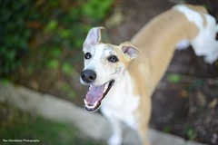 Toby is one year old Sept 3 (Rex Montalban Photography) Tags: tobyisone whippet rexmontalbanphotography