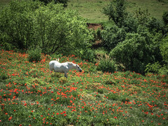 Caballo y amapolas (efe Marimon) Tags: canonpowershots120 felixmarimon catalunya lleida lanoguera vilanovademei montsec caballo amapolas