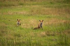 Curious fox (Yvonne L Sweden) Tags: fs160828 fox torpet nature august sweden fotosondag sommarnoje rv wildlife animal
