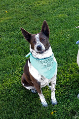 20160329_173359 (Tilted Ten) Tags: figlet australiancattledog blueheeler mixedbreed mutt dog