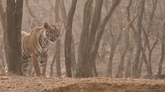 Tiger on the Hunt in India (Raymond J Barlow) Tags: india tigress wildlife phototours workshop raymondbarlow royalbengal