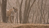Tiger on the Hunt in India (Raymond J Barlow) Tags: india tigress wildlife phototours workshop raymondbarlow royalbengal