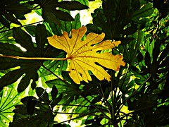 P1150885 (Stephen-Oakes) Tags: leaf leaves yellow contrast lumix g2 nature