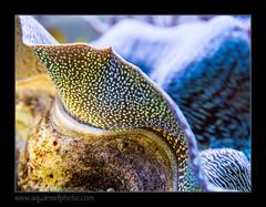 STETderasa7224_160616 (kactusficus) Tags: marine aquarium reef tank home coral tridacna derasa clam benitier