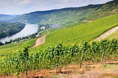 IMG_9962 (RunningRalph) Tags: bernkastelkues deutschland druiven duitsland germany grape rheinlandpfalz