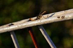Moment of rest (Zsofia Nagy) Tags: 7daysofshooting week8 butterfliesinsects wornandweatheredthursday insect d3100 depthoffield dof garden kert rovar animal outdoor specinsect